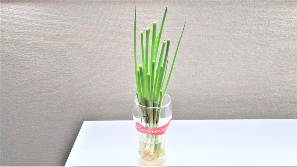 小ネギ再生栽培2回目の4日目の画像