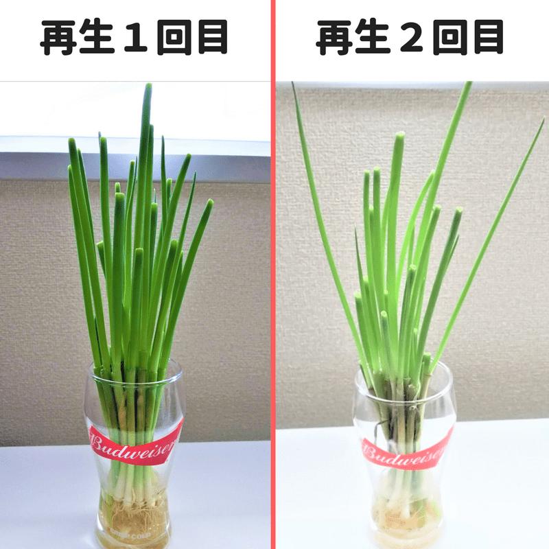 小ネギ再生栽培1回目と2回目の比較画像