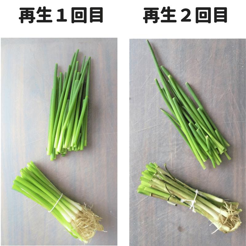 小ネギ再生栽培1回目と2回目の伸びた部分をカットし比較した画像