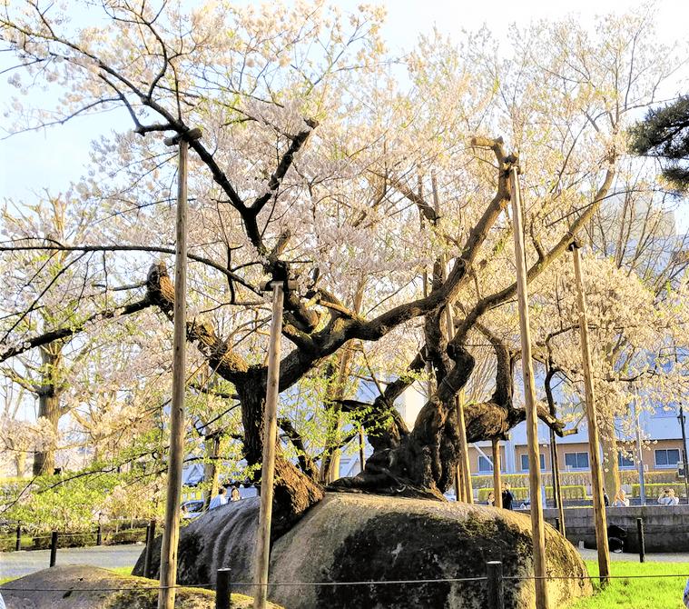 石割桜の画像