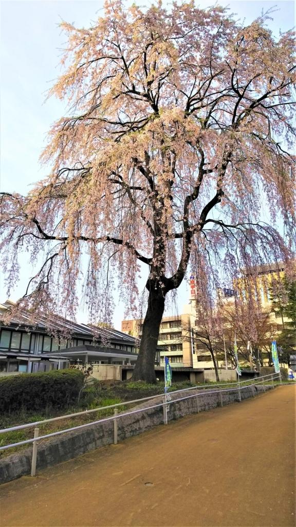 もりおか歴史文化館の枝垂桜の画像