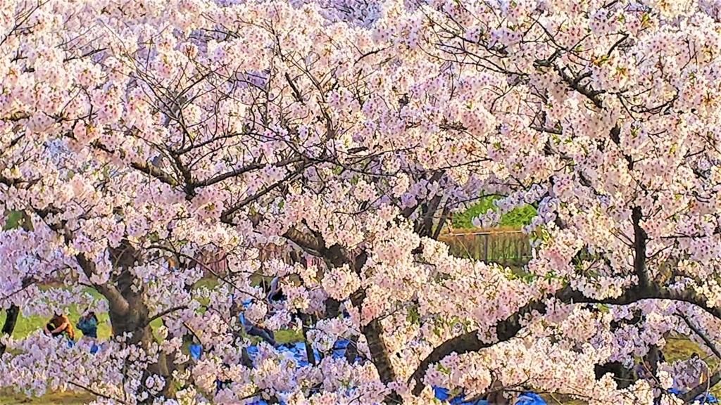 盛岡城跡公園本丸の桜の画像