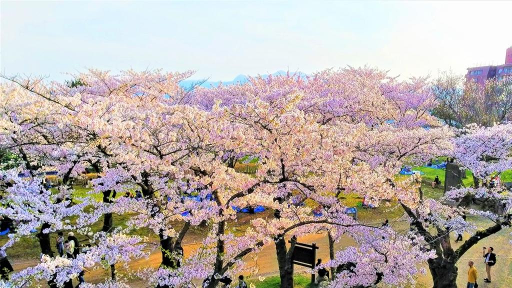 岩手公園の本丸の桜の画像