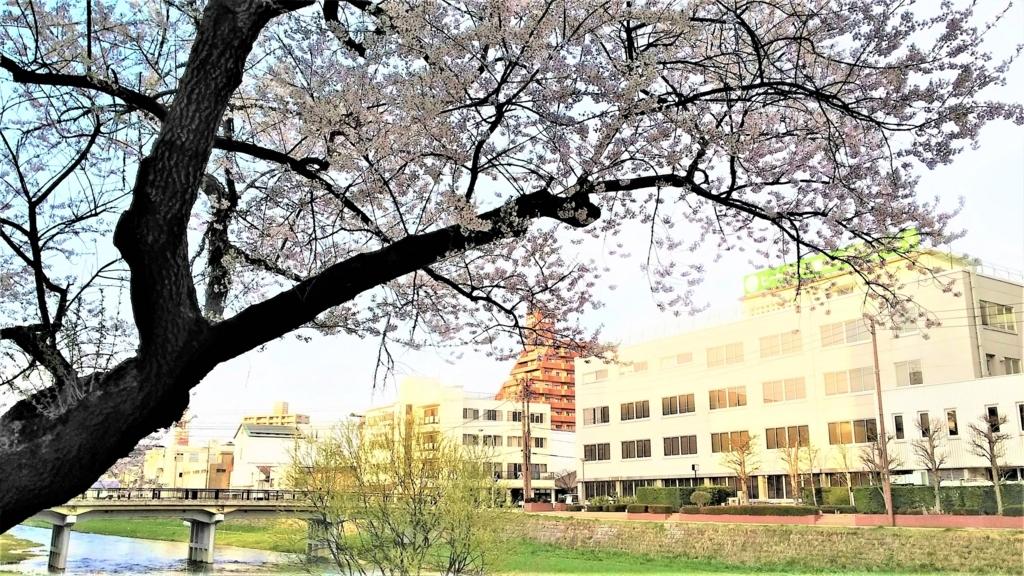 中津川沿い盛岡市役所裏の桜の画像