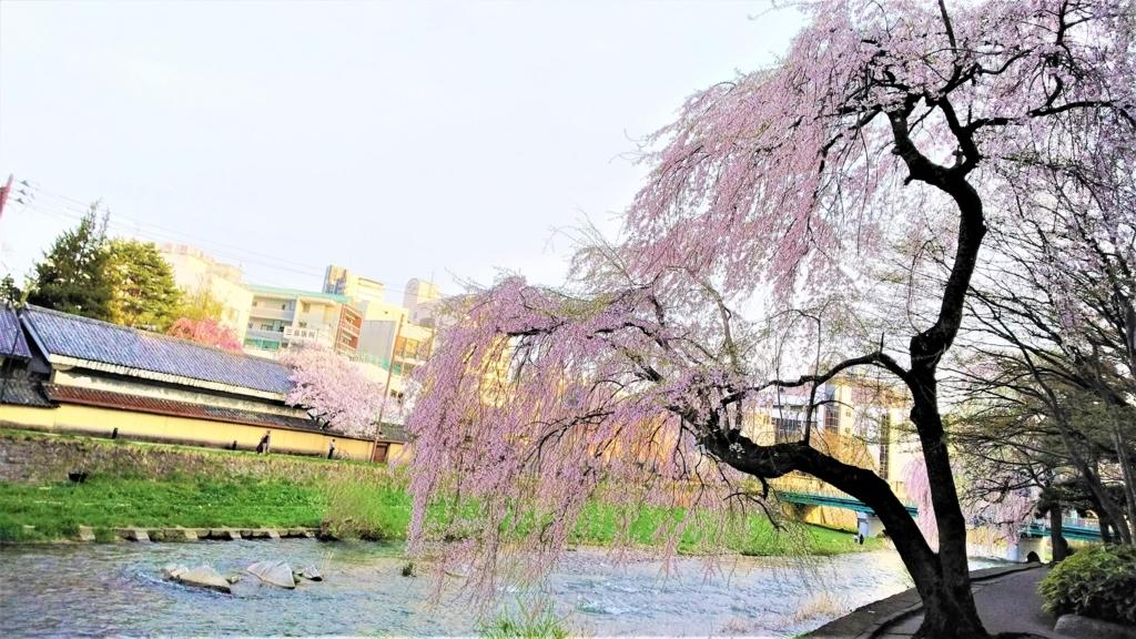 中津川と枝垂桜の画像