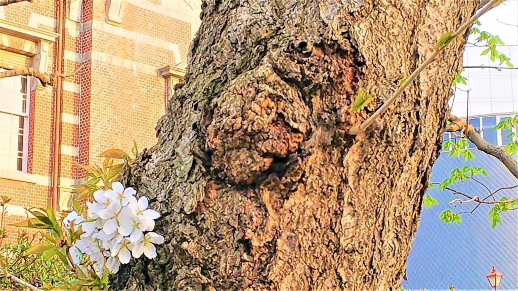 岩手銀行赤レンガ館の壁と桜の画像