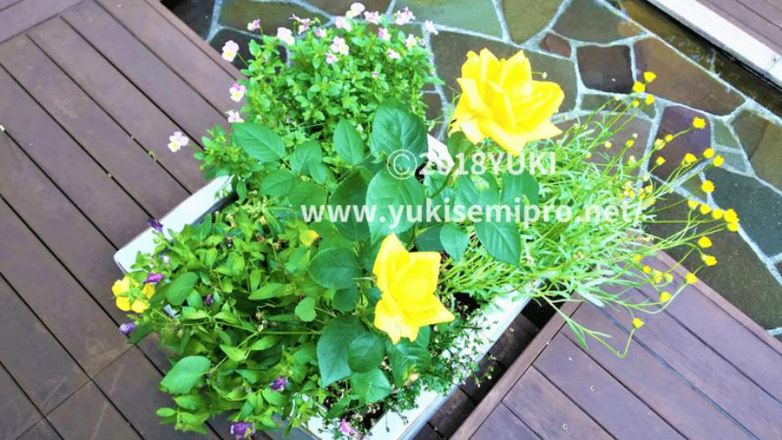 バラの寄せ植えの画像
