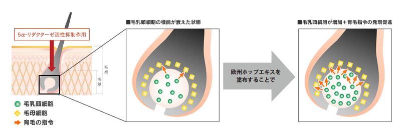 毛乳頭細胞と毛母細胞の正常状態が重要
