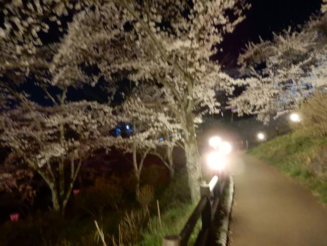 道中でも桜のライトアップを楽しむことができます