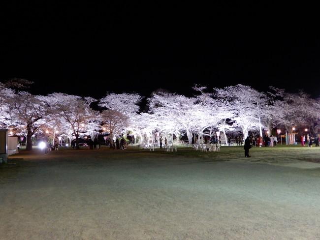 船岡城址公園の桜ライトアップ1