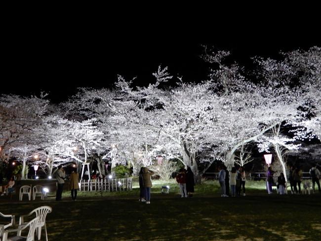 船岡城址公園の桜ライトアップ2