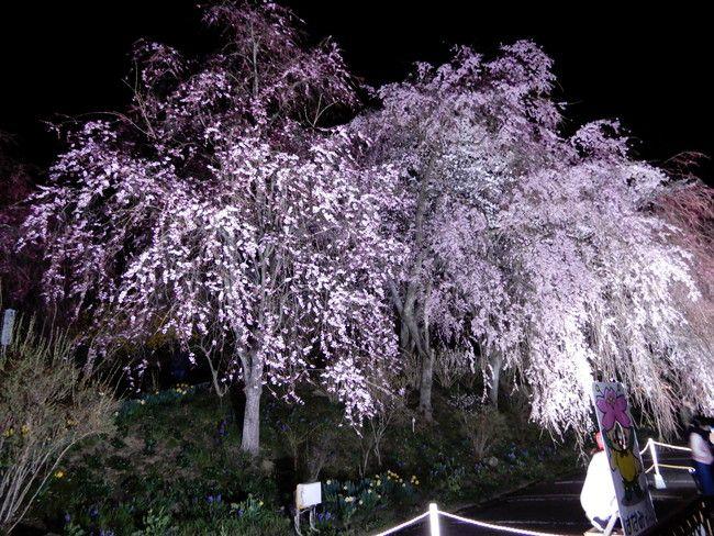 船岡城址公園の駐車場にも桜がライトアップ