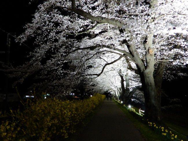 ここが白石川堤一目千本桜