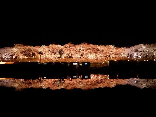 【桜ライトアップ】白石川堤一目千本桜・船岡城址公園に出かけてみた!
