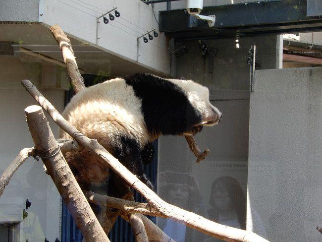 上野動物園のパンダを観覧、シャンシャン空中でねてっし~