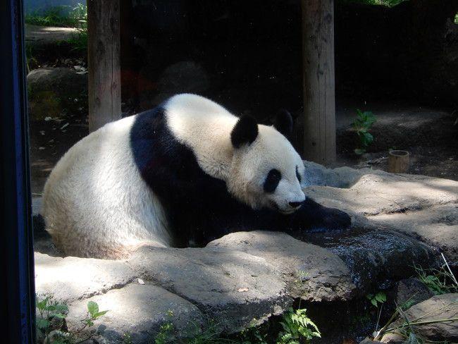 上野動物園のパンダを観覧、シンシンが動いた
