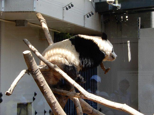 上野動物園のパンダシャンシャン登場