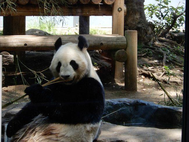 上野動物園のパンダを観覧、竹を食べている