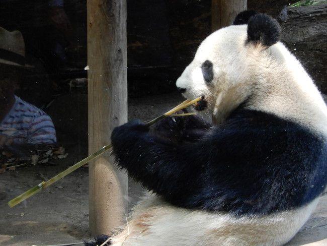 上野動物園のパンダを観覧、中年のおっさんなら癒されないけどパンダなら許す