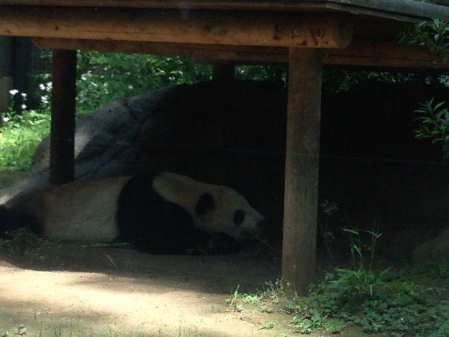 上野動物園のパンダを観覧、リーリーも暑さのためか日陰でしぼ~してます
