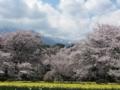 奥に聳える甲斐駒ケ岳が少し見えて来た。手前は水仙。