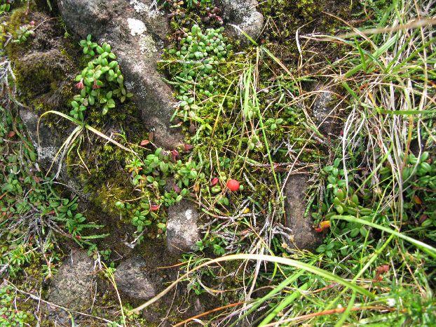 高山植物 コケモモ