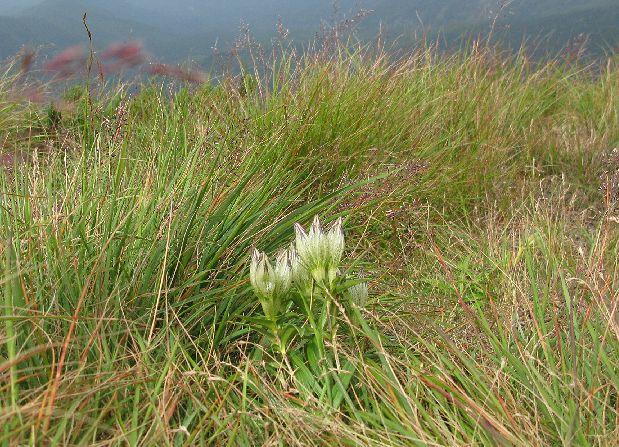 硫黄岳山頂付近に咲くトウヤクリンドウ 薬用植物