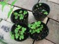ワイルドストロベリーの芽
