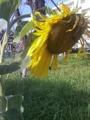 [花] どうして元気ないの?ほらむこうはまぶしいよ。太陽が応援してる