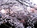 五条川桜祭