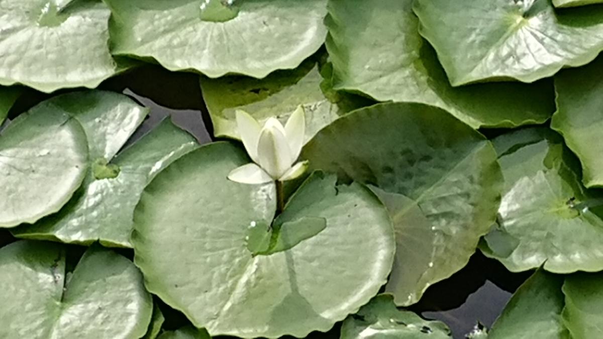 池に咲く睡蓮