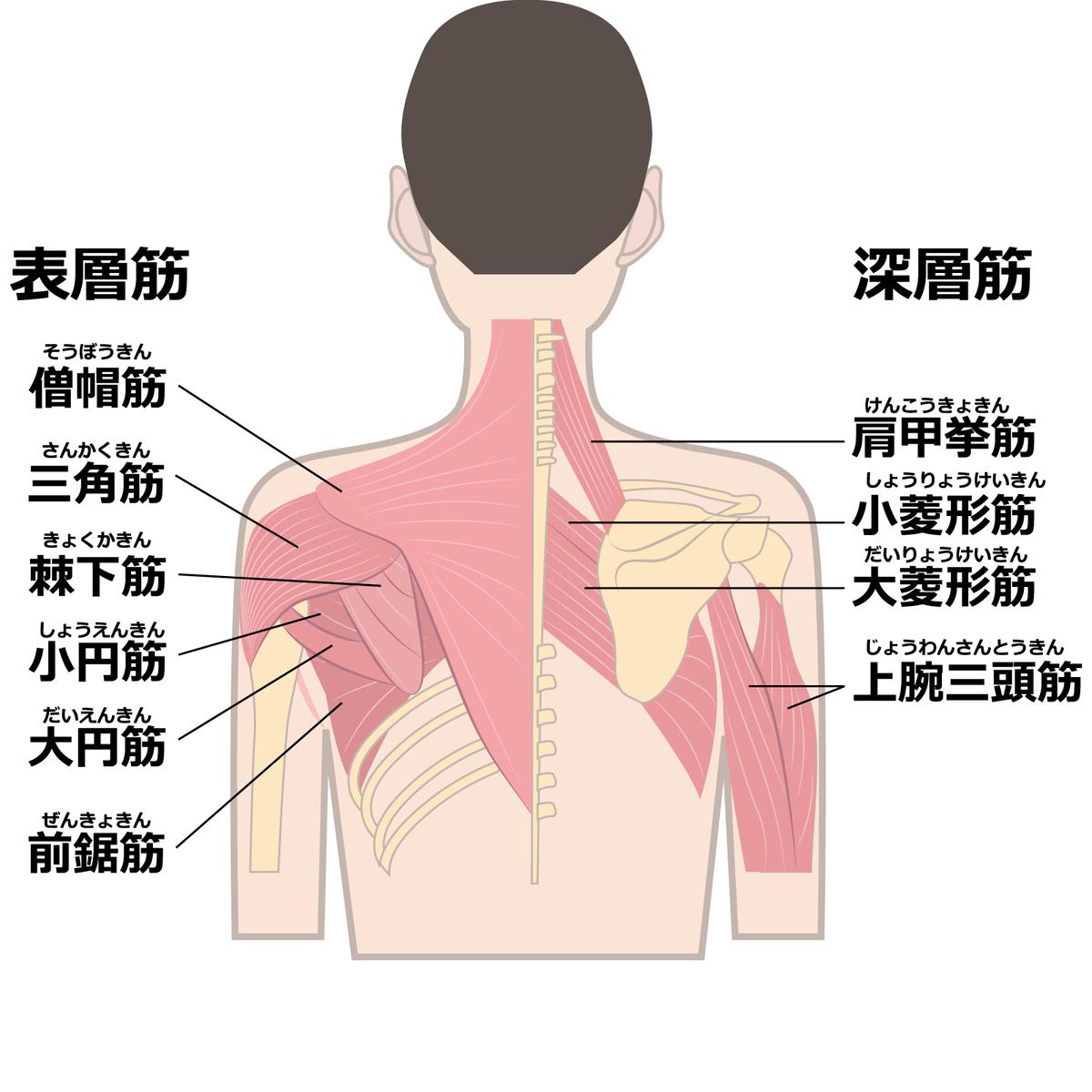 肩こりの原因を知るためには肩の造りを知ろう
