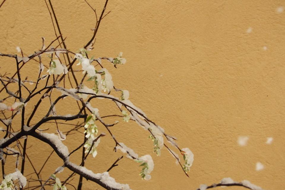 ジューンベリーの新芽に積雪