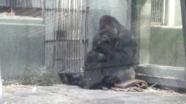 東山動物園 ゴリラ 赤ちゃん