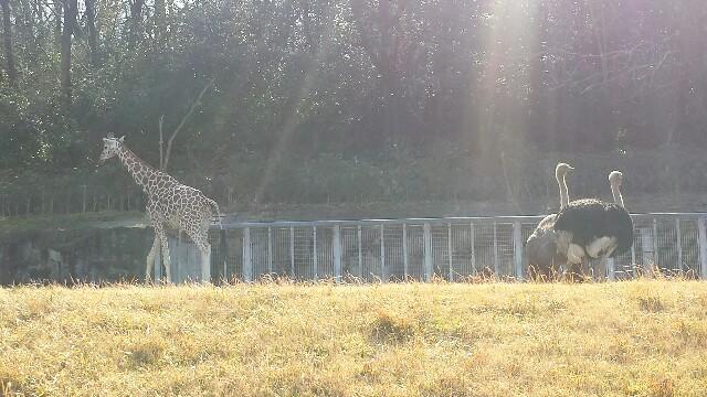 名古屋 東山動物園 きりん