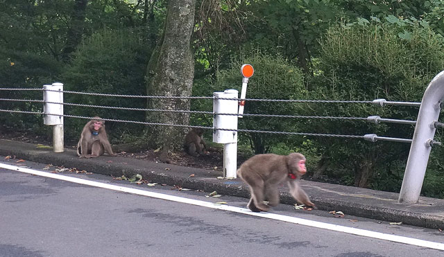 奥多摩 野生の猿に遭遇 写真