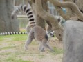 熊本市動植物園・ワオキツネザル
