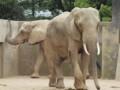 熊本市動植物園・アフリカゾウ
