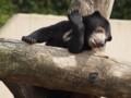 上野動物園・マレーグマ