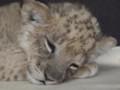フェニックス自然動物園・ライオン