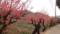 道ばたの梅の木