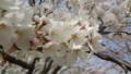 [季節]満開の桜の木