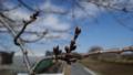 [風景][季節]近くの桜の木