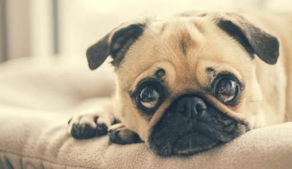【デモ】上目使いの犬