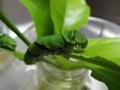 成長の早い幼虫A:緑色の液体を排出すると 蛹になる合図。液体をお