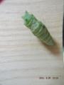 目を離したすきに 蛹の形に!!