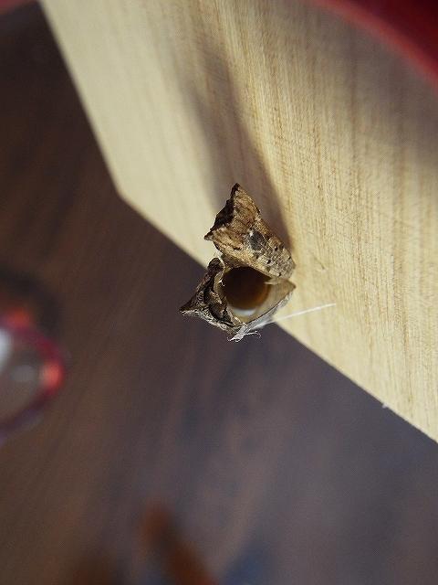 抜け殻の中には 液体が4分の1程残る。蛹の頃の排泄物か!?