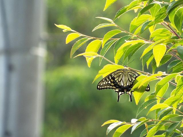 庭のレモンの木に離したが すぐに飛び立ち 隣家の庭木で一夜を過ご