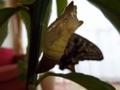 蛹の殻(B) 排出物が溜まる・・・