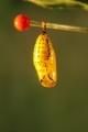 オオゴマダラ 蛹